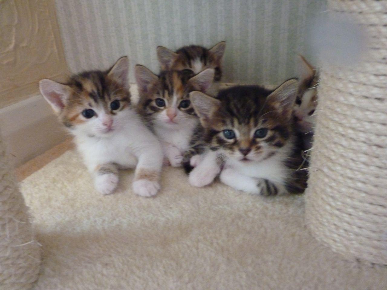 Adorable Kittens For Sale Kittens Cutest Kitten For Sale Beautiful Kittens