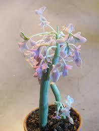 Senecio articulatus variegata