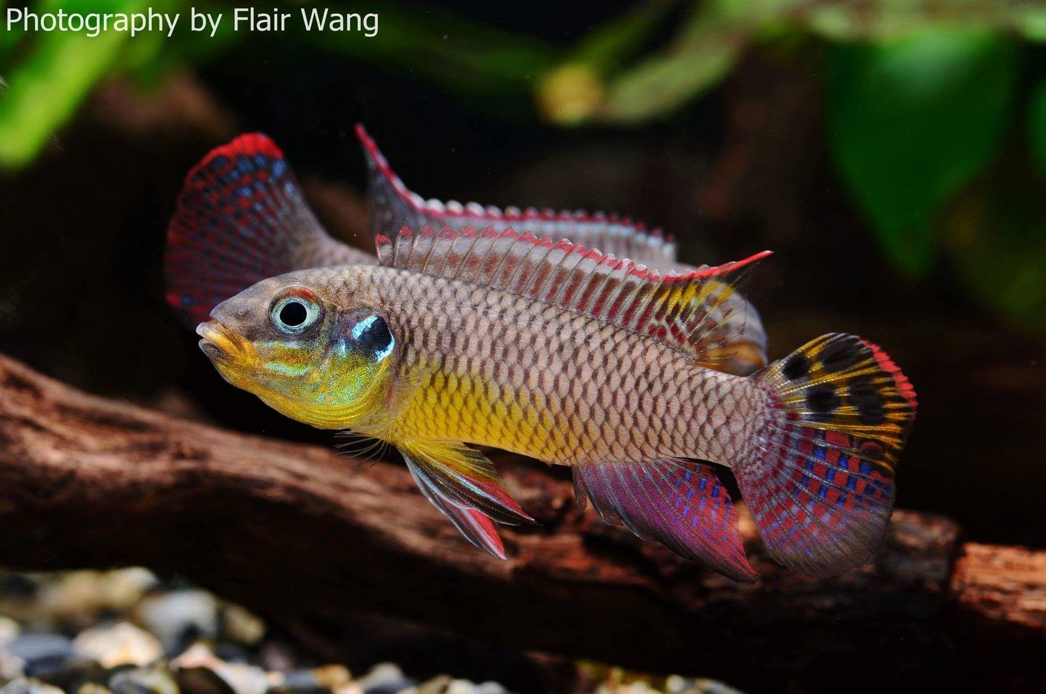 Pelvicachromis Kribensis Moliwe African Cichlids Cichlids Freshwater Fish