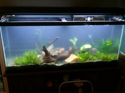 This is my 55 gal angelfish tank.