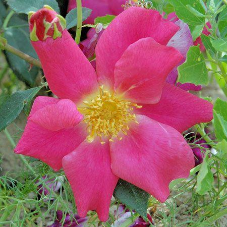 folichonne est un rosier arbustif tr s r sistant jamais malade au port souple pouvant aussi se. Black Bedroom Furniture Sets. Home Design Ideas