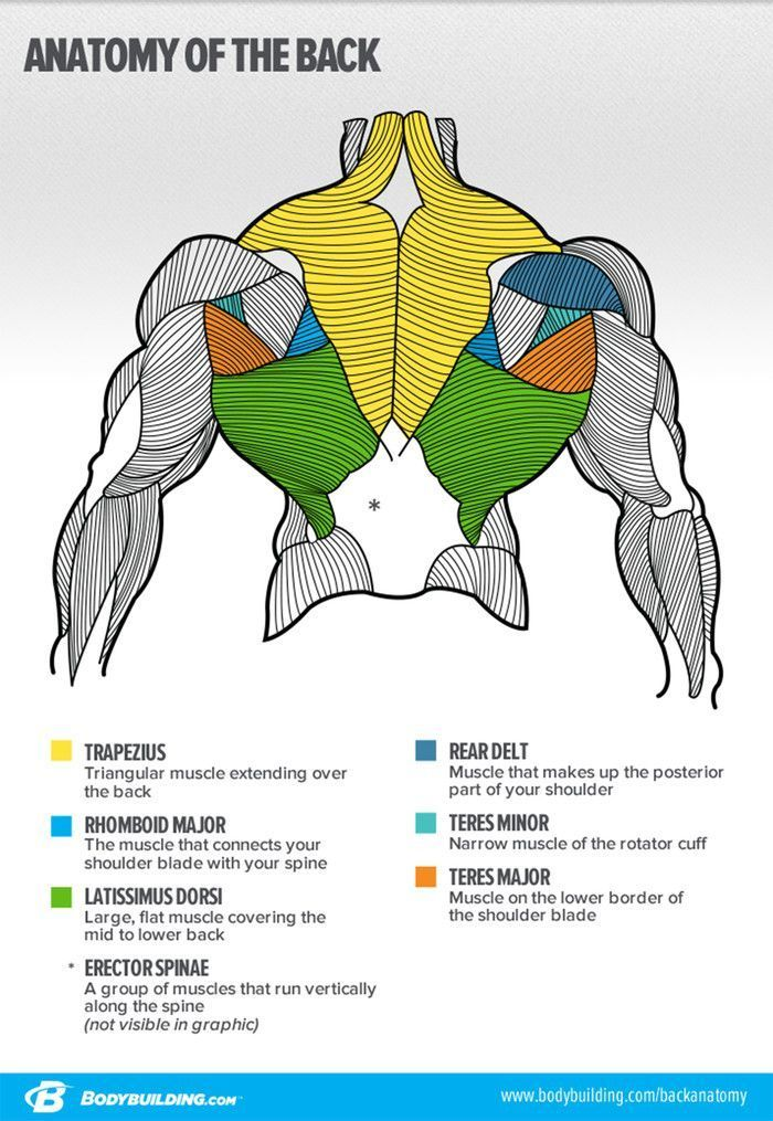 Anatomy of the Back #bodybuilding   Core and Abs   Pinterest ...