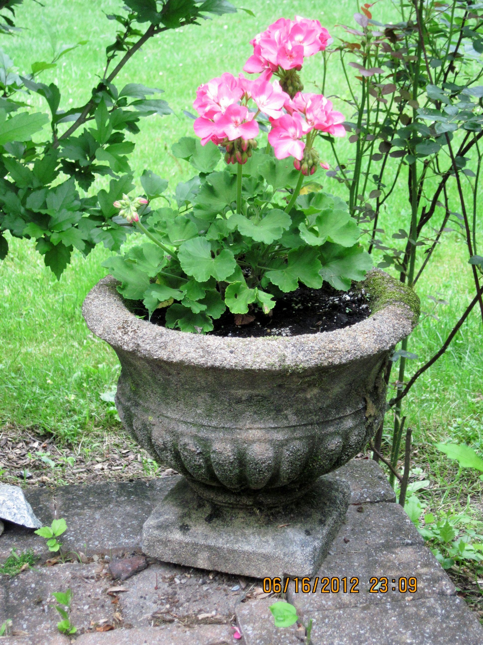 Geraniums in antique cement planter planting flowers