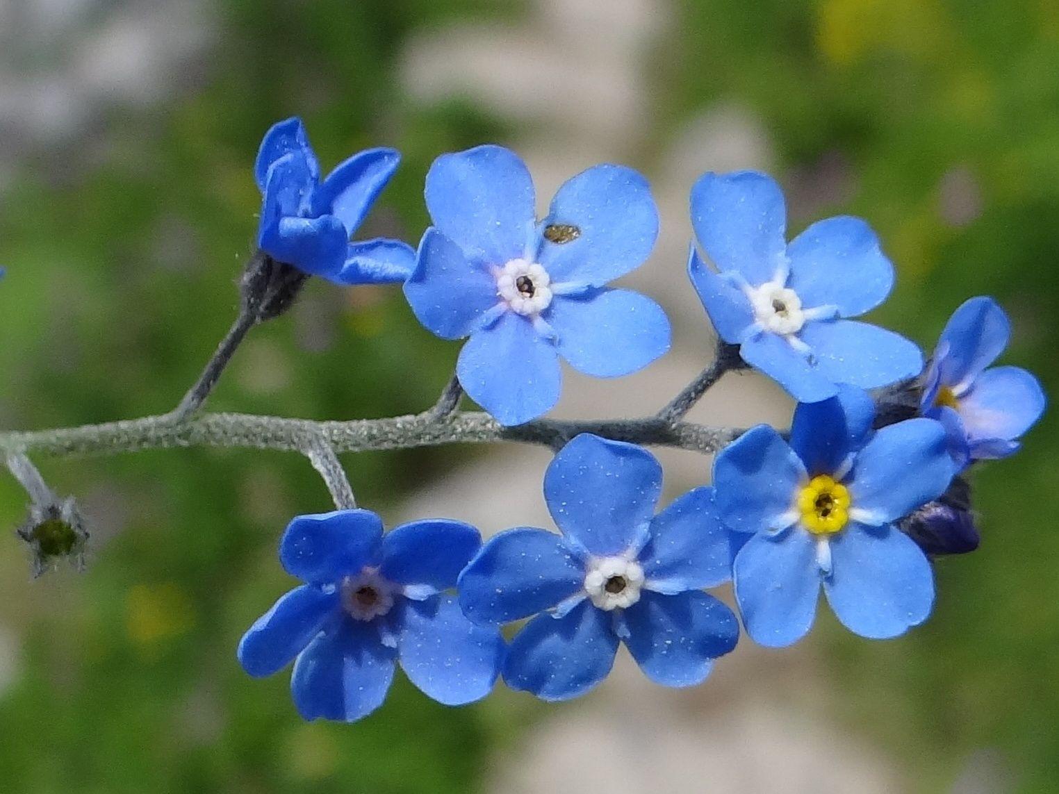 Alaska state flower floral emblem wild native