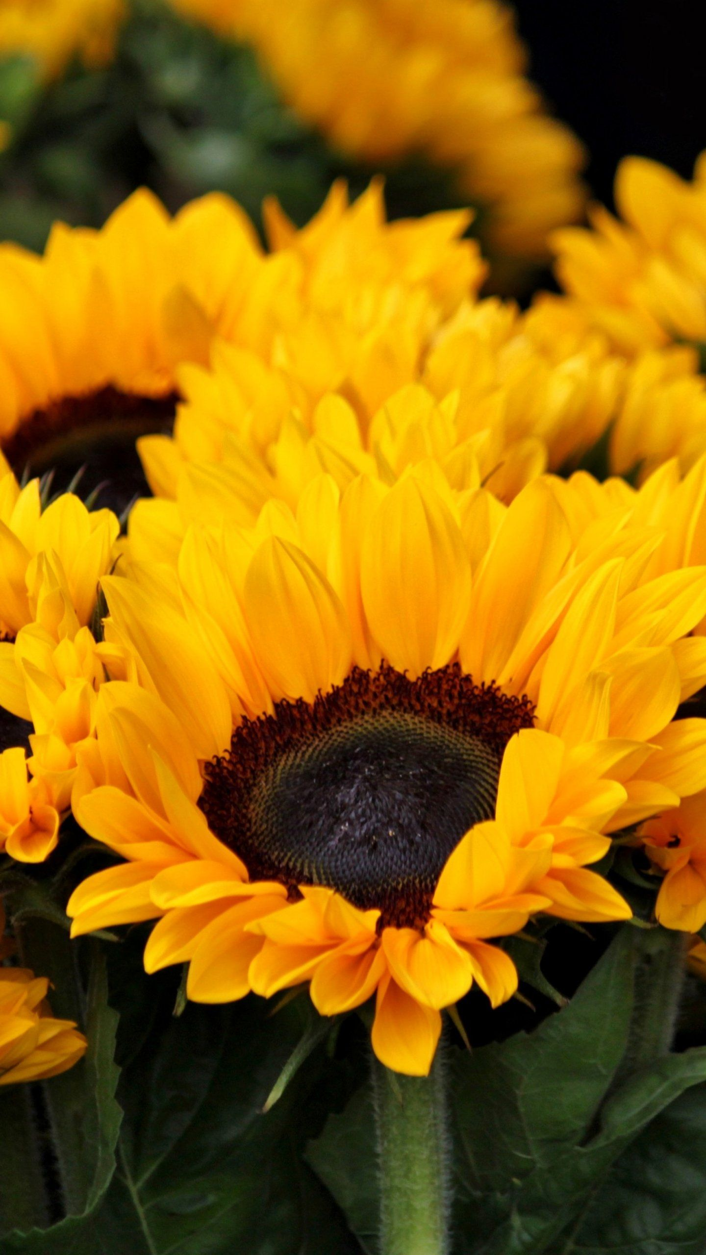 Sunflowers Wallpaper iPhone, Android & Desktop