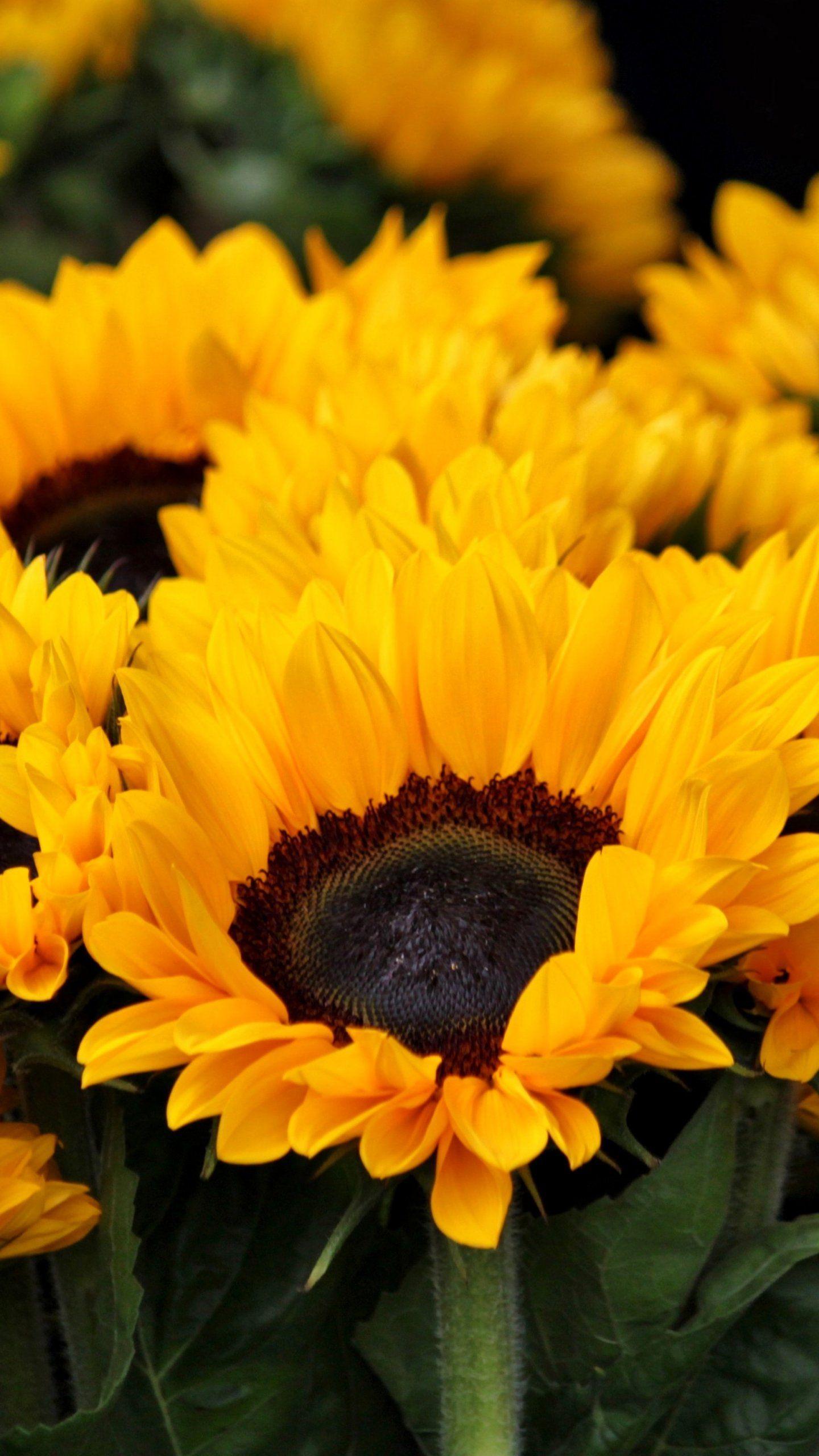 Sunflower Wallpaper Desktop : sunflower, wallpaper, desktop, Sunflowers, Wallpaper, IPhone,, Android, Desktop, Backgrounds, Sunflower, Wallpaper,, Flower,, Pictures