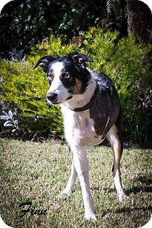 Corning Ca Border Collie Mix Meet Finn A Dog For Adoption Http Www Adoptapet Com Pet 12651637 Co Dog Adoption Border Collie Mix Border Collie