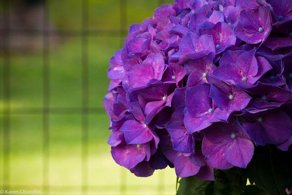 Dark Violet Hydrangea Colors Outdoor Decor Landscaping Bloom Gardens Backyard