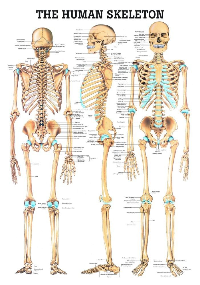 The Human Skeleton Laminated Anatomy Chart Bones Pinterest
