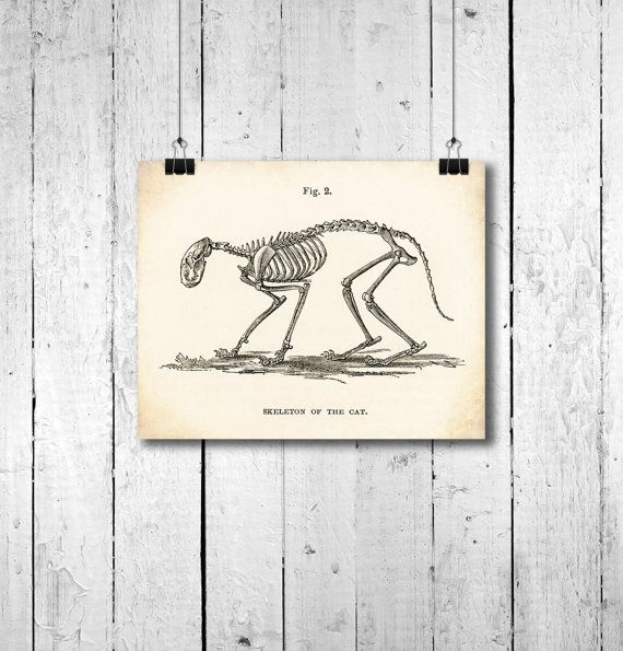 Vintage Victorian Cat Skeleton Picture - Anatomical Drawing of Cat ...