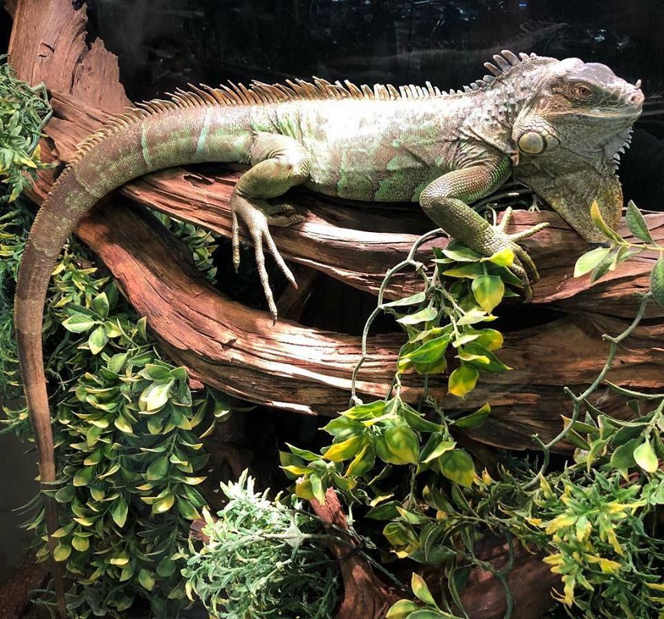 Lenny The Green Iguana Basking In The Heat At Reptile Rapture Iguana Pet Cute Wild Animals Green Iguana