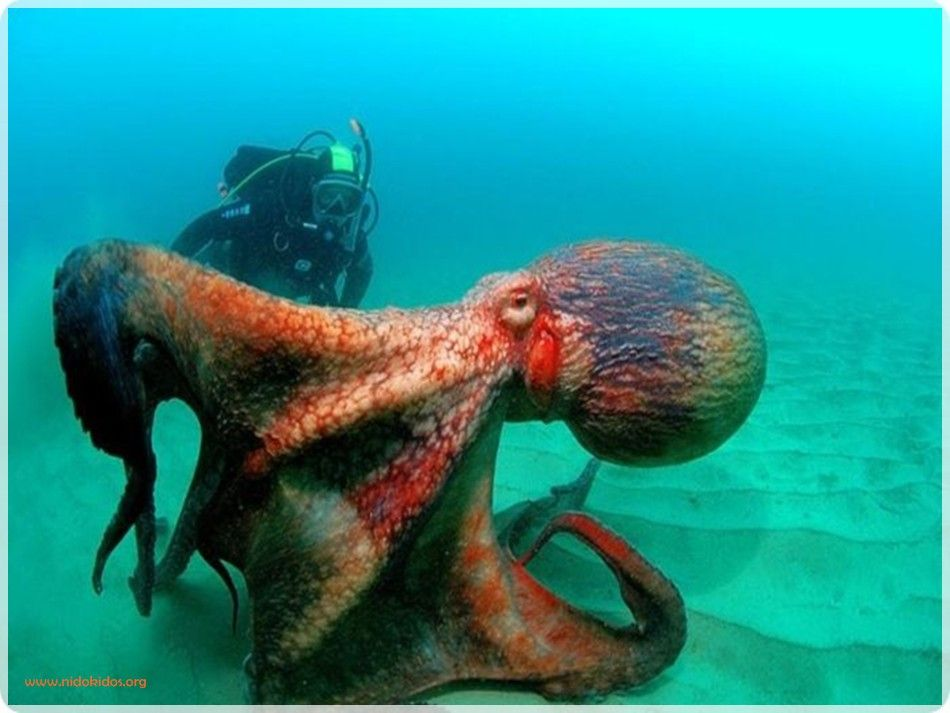 Dangerous Water Animals Water Animals Water Animals Giant Pacific Octopus Octopus