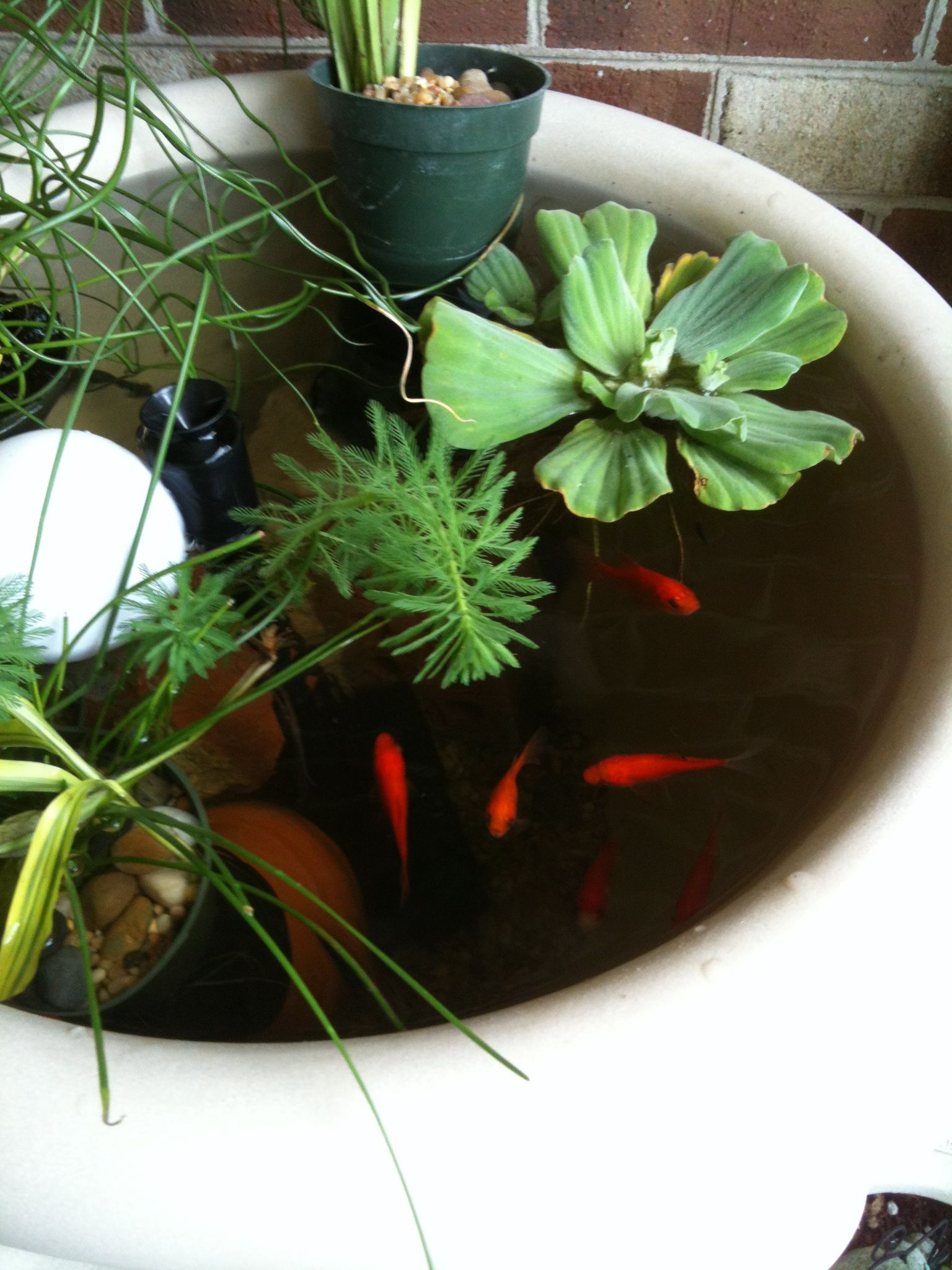 Container garden just add a fountain pump oxygen for the for Goldfish pond plants
