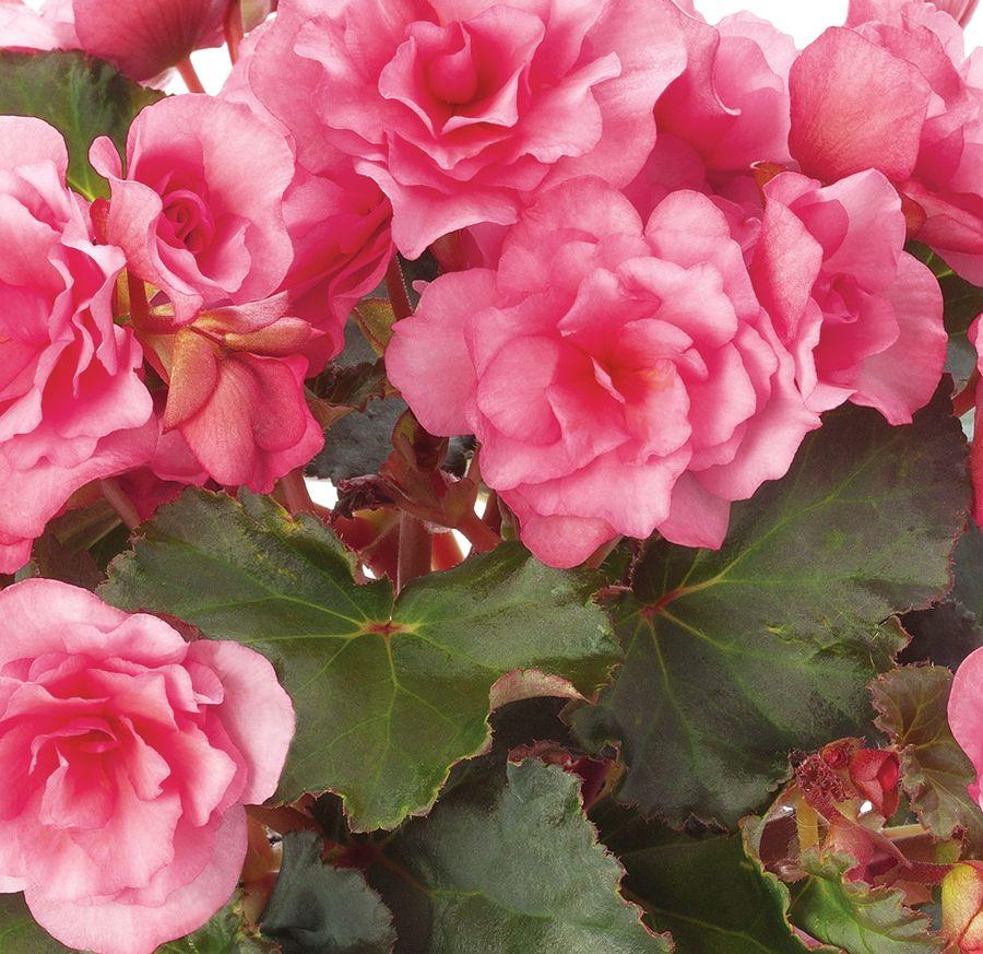 Glory Pink - Rieger Begonia - Begonia x hiemalis