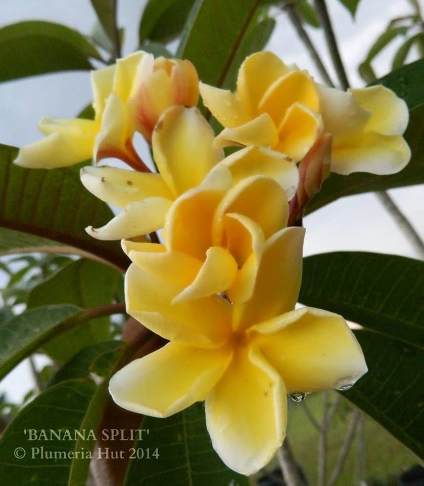 Rubee100 S Image Plumeria Frangipani Hawaiian Lei Flower