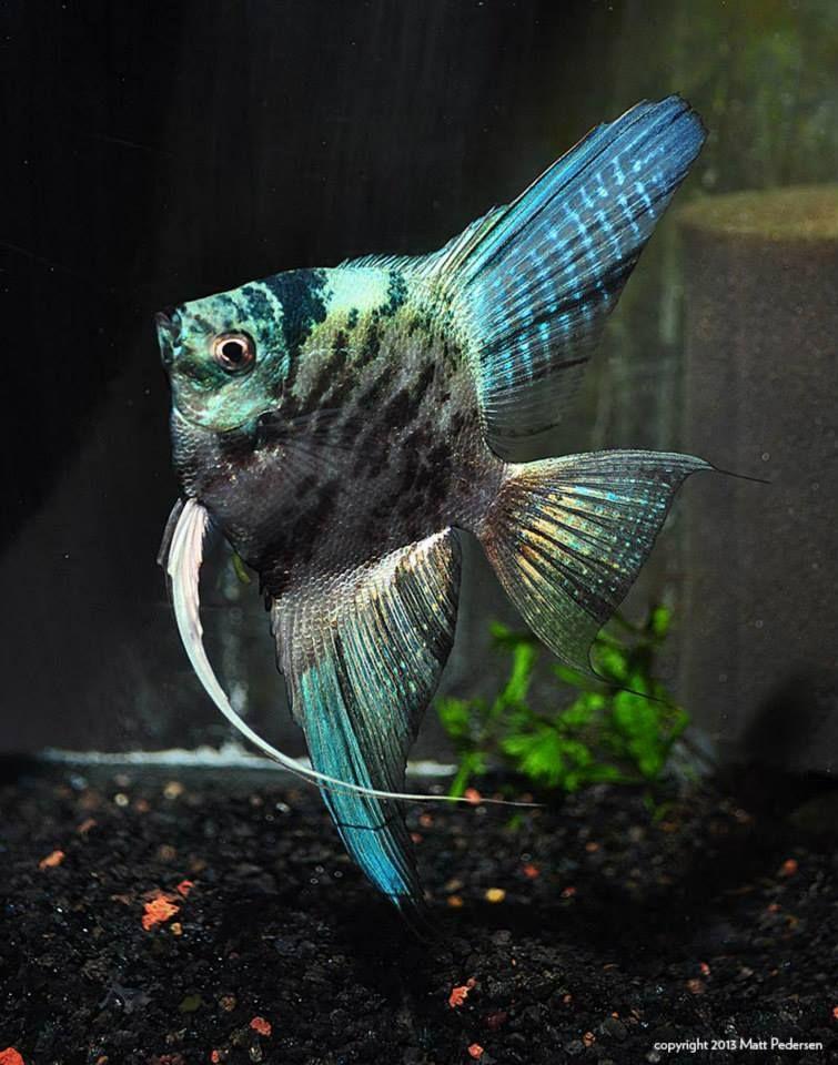 Freshwater Tropical Angelfish Google Search Angel Fish Fresh Water Fish Tank Aquarium Fish