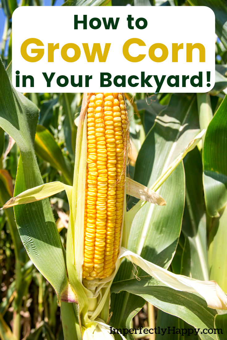 Growing Corn  Everything You Need to Know for Success is part of Growing corn, Home vegetable garden, Backyard vegetable gardens, Growing vegetables, Food garden, Growing sweet corn - Growing corn is great and it doesn't have to be complicated  You can start growing corn in your backyard garden this year!