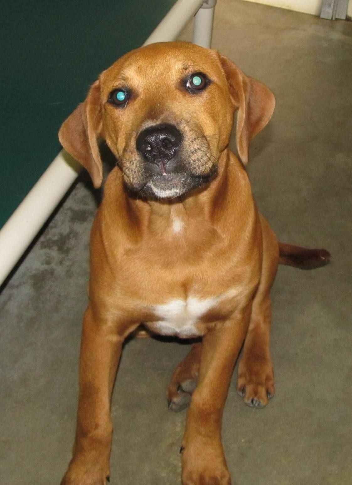 Lee County Animal Services Adoption Search Results Dog