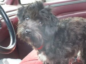 Adopt Toby Adopted On Petfinder Poodle Poodle Dog Terrier Mix Dogs
