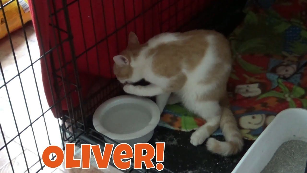 Oliver Kitten Picking Up Water With His Paws And Drinking