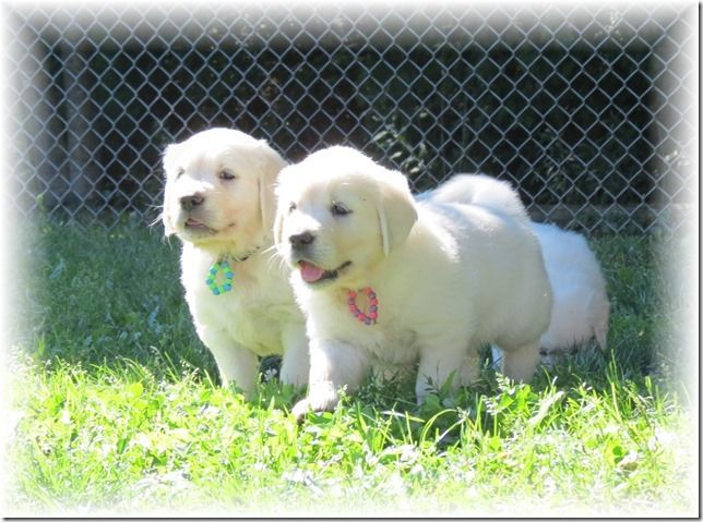 Puppies For Sale We Breed Quality Puppies In Our Loving Home