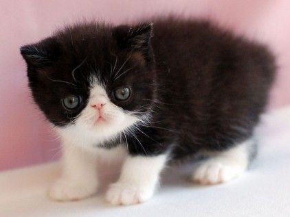 All About Tuxedo Cats Cat breeds, Fluffy cat, Cat facts