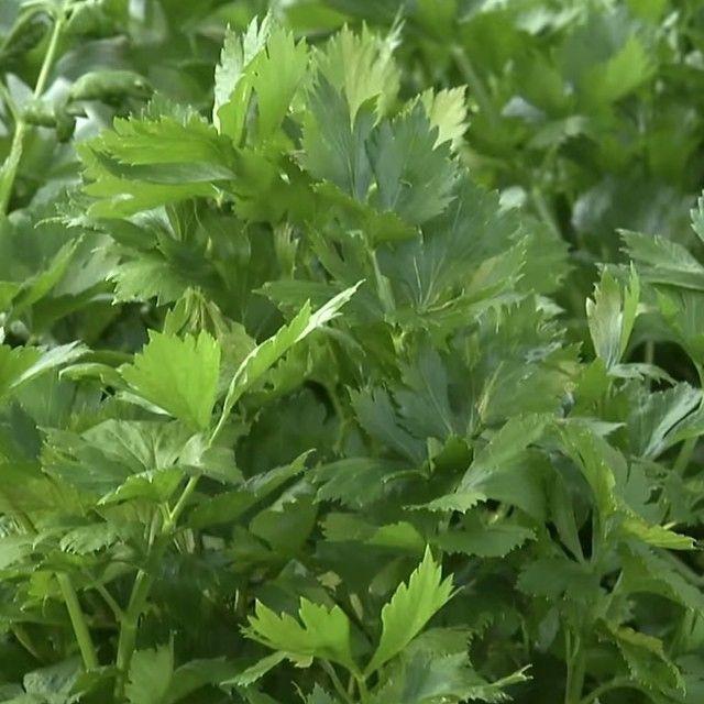 What herbs are you growing in the garden? #mossmountainfarm #bonnieplants #pallensharethebounty #parsley #farm #garden #herbs