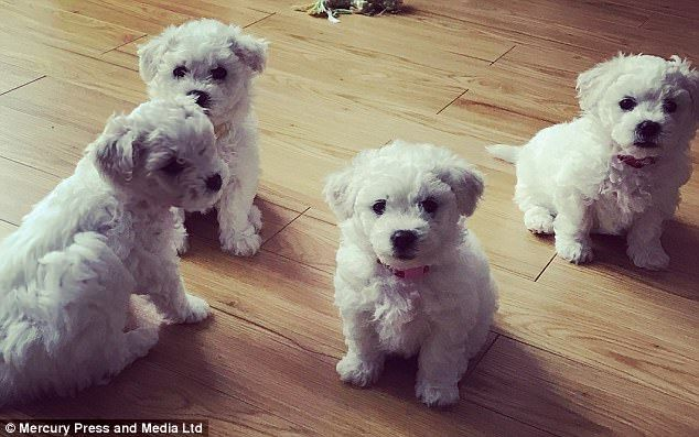 Adorable Moment Proud Bichon Frise Mother Teacher Her Pup To Sit