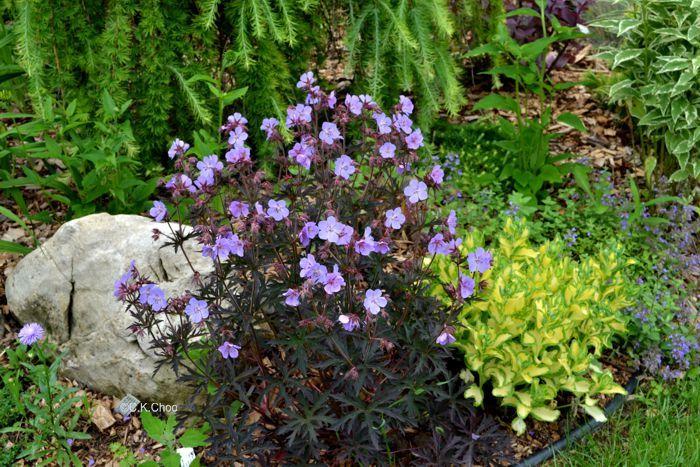Garden Canadensis Geranium Pratense Dark Reiter In July