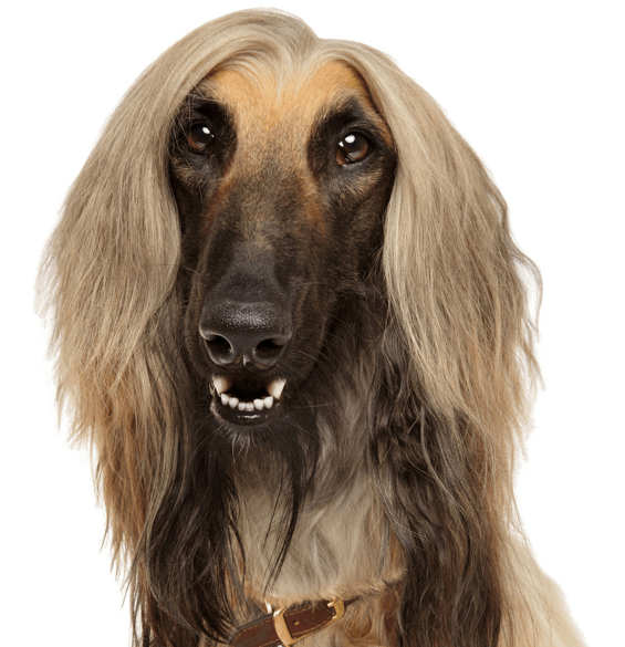 Afghan Hound Puppies for Sale Afghan