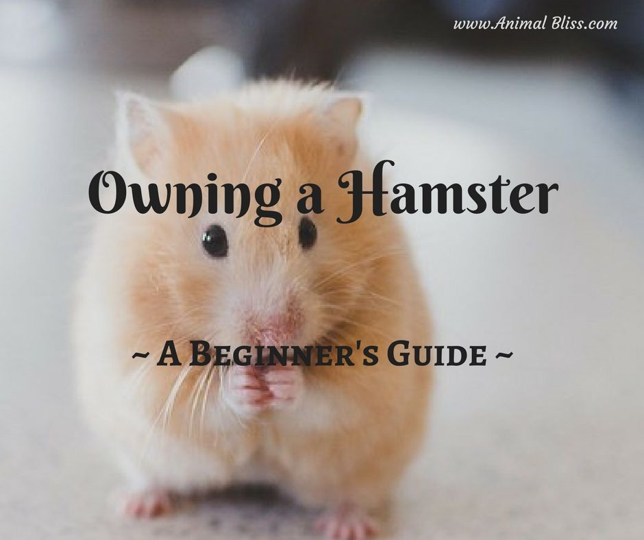 A Beginner S Guide To Owning A Hamster Hamsters As Pets Hamster
