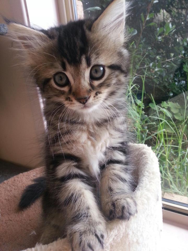 Tabby x Persian kitten by SpiderVicious on DeviantArt