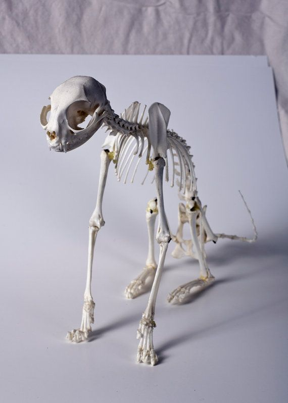 Domestic REAL CAT SKELETON Articulation by WeirdBonesBugs on Etsy ...