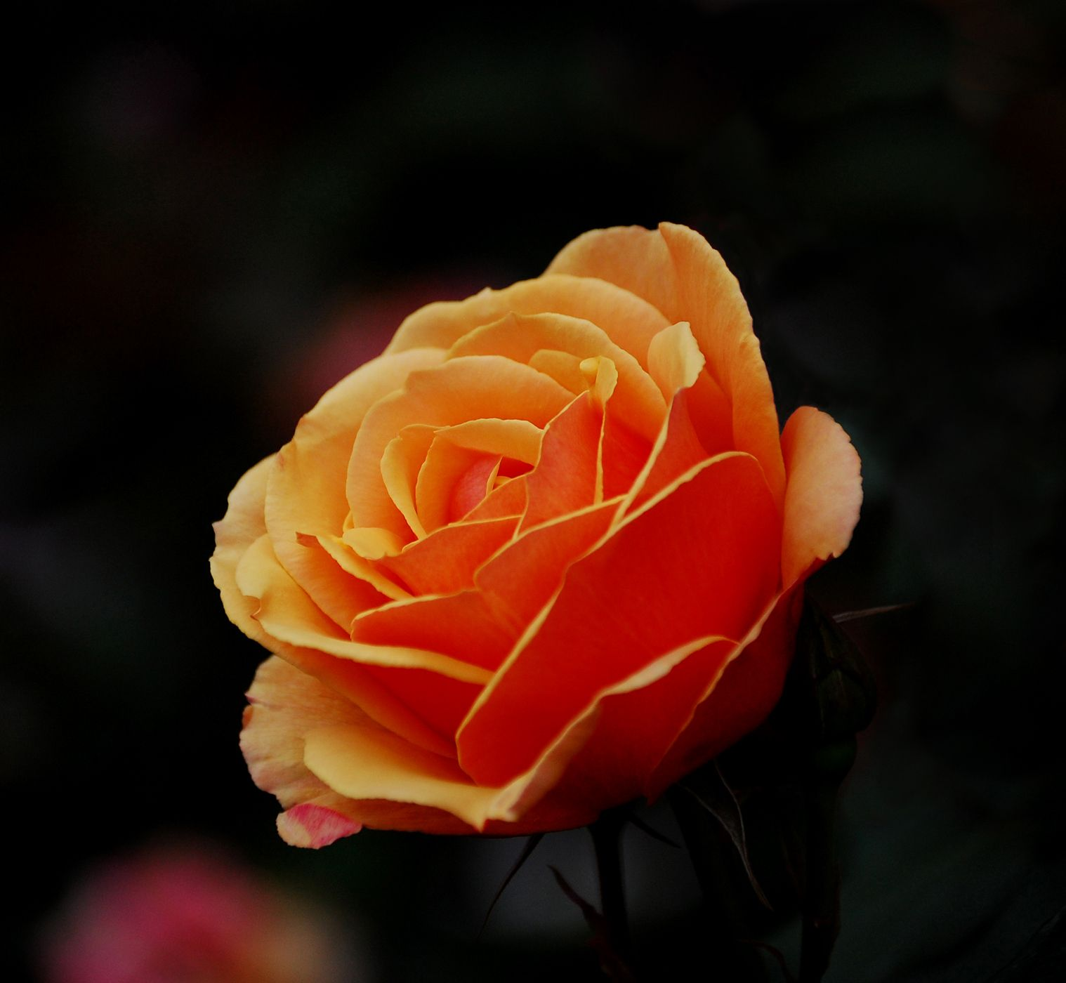 Orange Roses Are Very Pretty Rose Tattoos Beautiful Roses Orange Roses