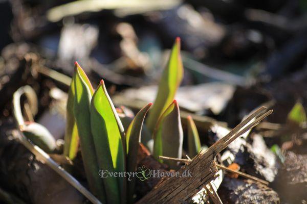 Mine første orange tulipaner kigger op
