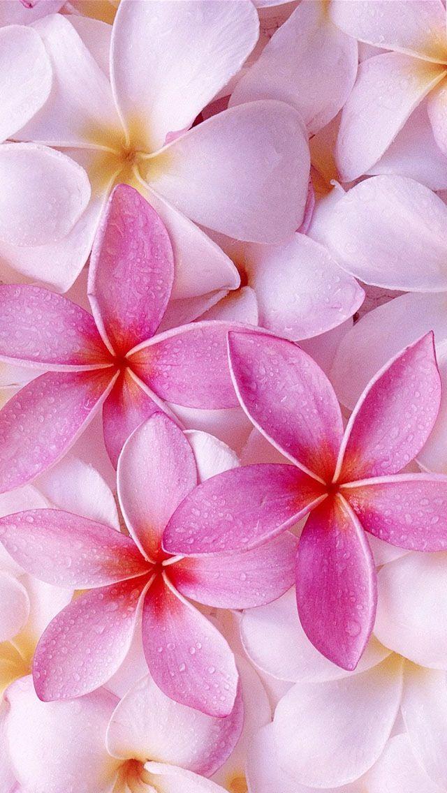 Iphone 5 Wallpaper 熱帯の花 プルメリアの花 ピンクのバラ