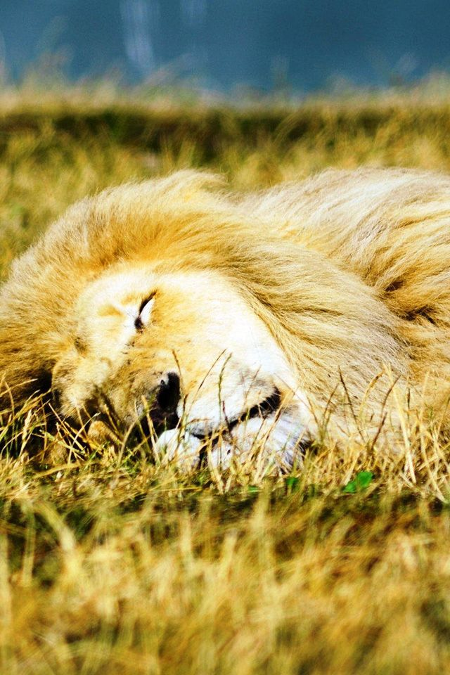 Sleeping Lion (With images) | Sleeping lion, Animals, Lion