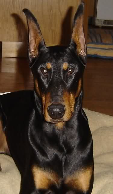 Doberman Ear Cropping Styles Chart