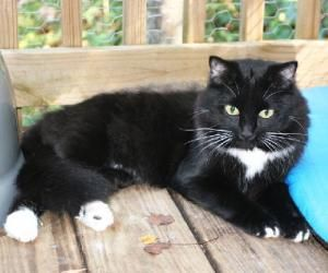 Adopt Ralphie On Black Norwegian Forest Cat Norwegian Forest Cat Cats