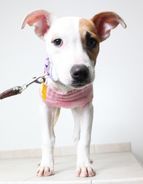 Pebbles D151592 is an adoptable Pit Bull Terrier searching for a forever family near Minnetonka, MN. Use Petfinder to find adoptable pets in your area.