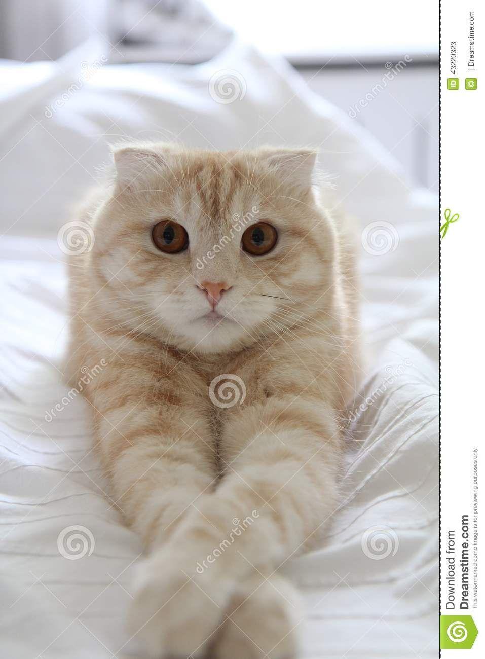 Stock Photo: Scottish fold cat - #scottish - More Scottish Fold Cat Breeds at Catsincare.com!