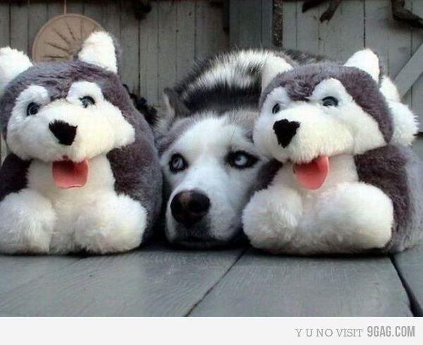 Husky hiding :) #cute