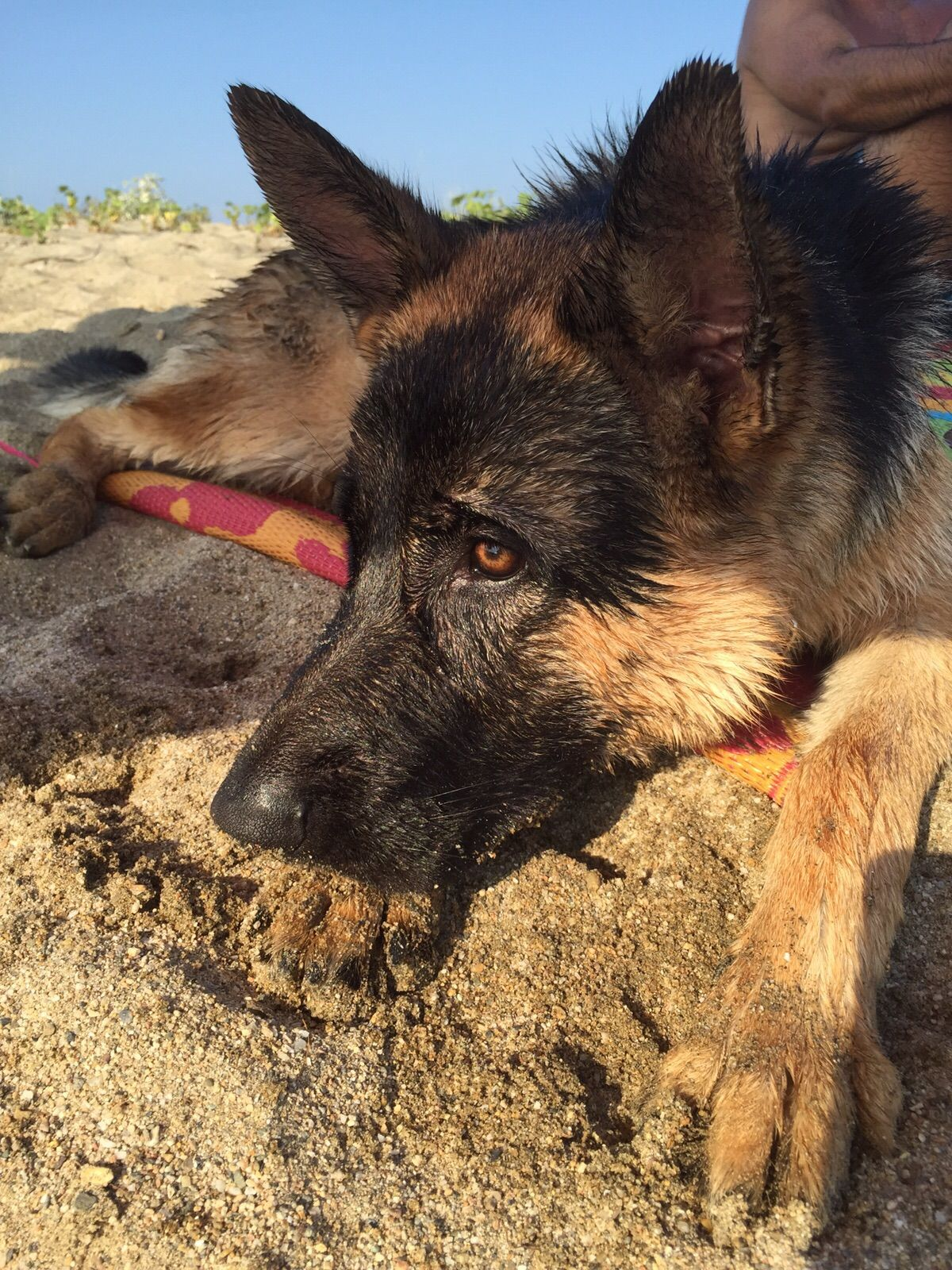 Gsdmax puppies u doggies pinterest german shepherds german