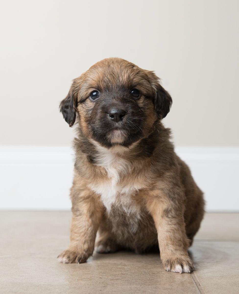 Beagi Dog For Adoption In Crystal Mn Adn 759969 On Puppyfinder Com Gender Male Age Baby Dog Adoption Hybrid Dogs Dogs