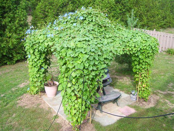 19 Best Pergola Plants Climbing For Pergolas And Arbors Balcony Garden Web