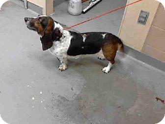 Washington Meet Lola Id 5391176 A471723 An Adoptable Purebred Basset Hound In Seattle Tacoma To Adopt Dog Sounds Animal Shelter Humane Society