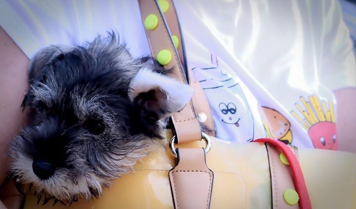 There's a Schnauzer in my bag !