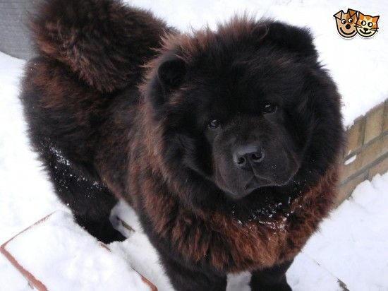 Chow Chow Pups Beautiful Chow Chow Dogs Chow Chow Pup