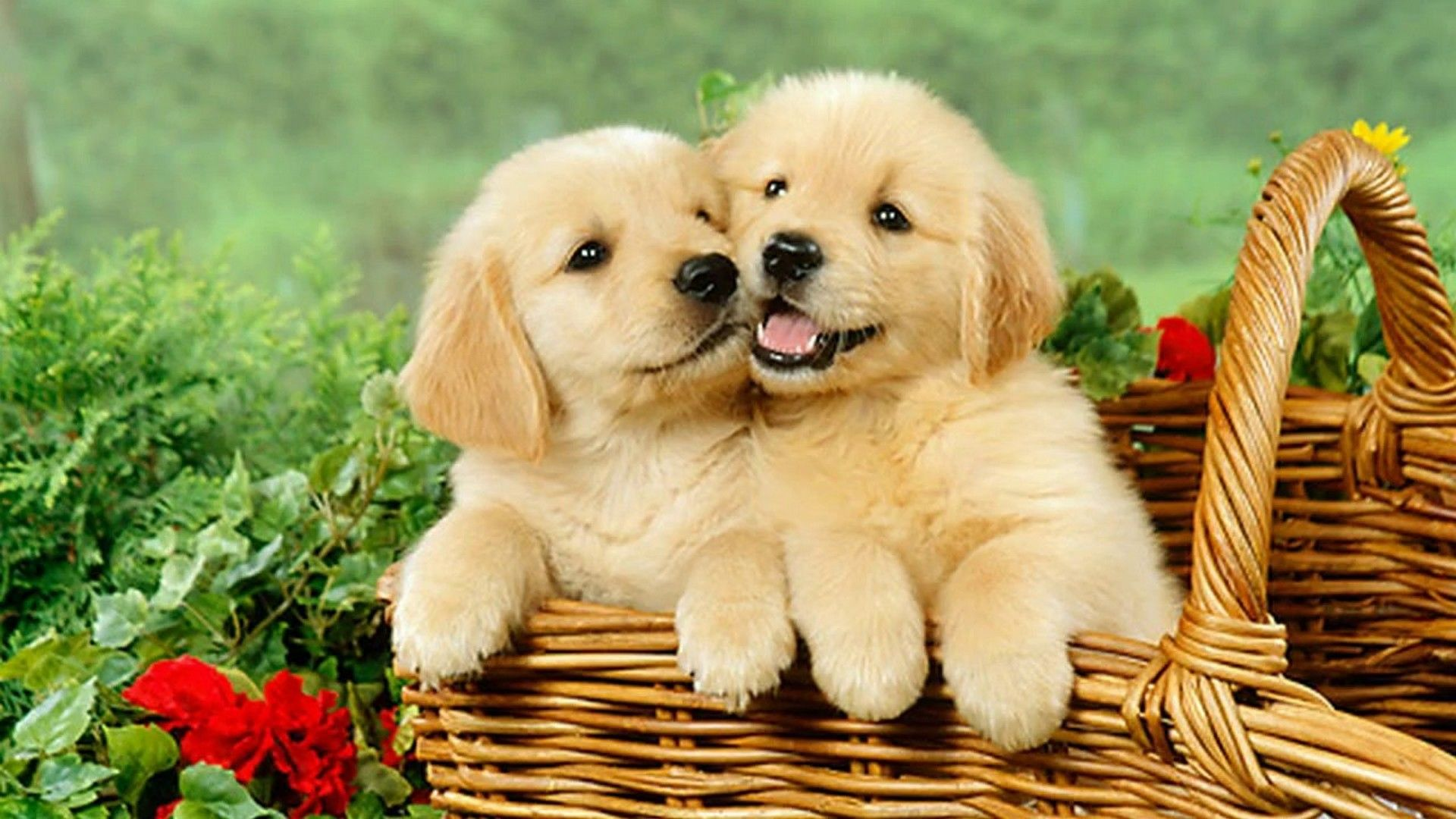 These Puppies Are Too Cute Look How Happy They Are Goldenretrieverpuppy Puppies Puppy Instadog Doglovers Dogli Really Cute Puppies Puppies Cute Puppies