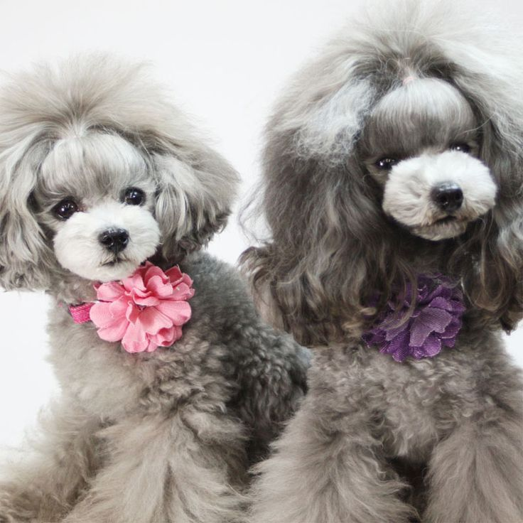 15 Poodles With Better Hairstyles Than You Poodles Pinterest